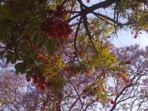 Ceibo-Jacaranda-12-11-2009 foto de Ernesto Carmona